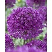 Allium Purple Sensation - Ornamental Onion Plant
