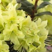 Rhododendron Princess Anne - Dwarf Rhododendron