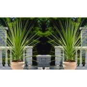 Pair of LARGE Cordyline australis Verde - Hardy Green Torbay Palms - 100cm