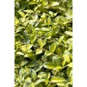 Vinca minor ''Illumination'' - Illuminations variegated Periwinkle