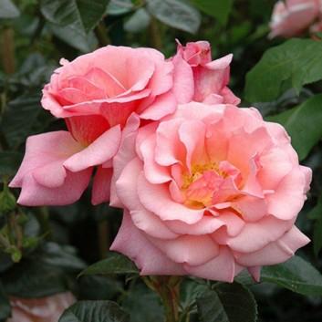 Rose Dixieland Linda - Climbing Rose