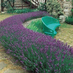 Lavandula angustifolia - English Lavender Pack of 10 Plants