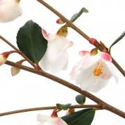 Camellia rosthorniana 'Cupido' - New & Exclusive