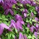 Clematis alpina Tage Lundell - Spring Flowering Clematis
