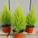 Lemon Scented Monterey Cypress Goldcrest - Pack of SIX Plants