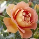 Rose Pat Austin ® - David Austin ® Shrub Rose