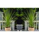 Pair of LARGE Cordyline australis Verde - Hardy Green Torbay Palms - 100cm