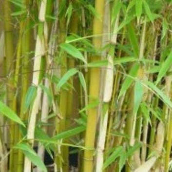 Fargesia Robusta - Clumping Bamboo
