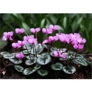 Hardy Cyclamen Coum - Pack of THREE Plants in Bud