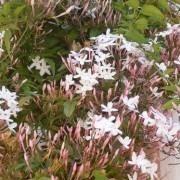 Jasminum officinale - Jasmine