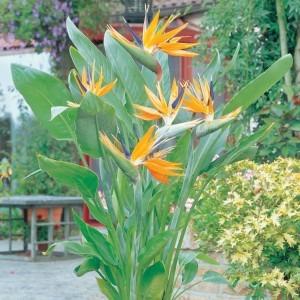 LARGE - Strelitzia reginae - Bird of Paradise Plant