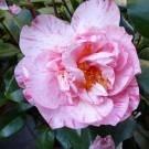 Camellia japonica Kick Off