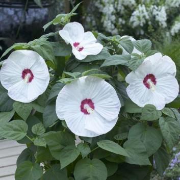 Hibiscus moscheutos Luna White/Blush