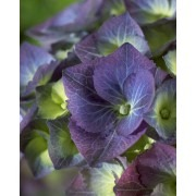 Hydrangea macrophylla Black Steel Blue - Large Flowered Black Stem Hydrangea