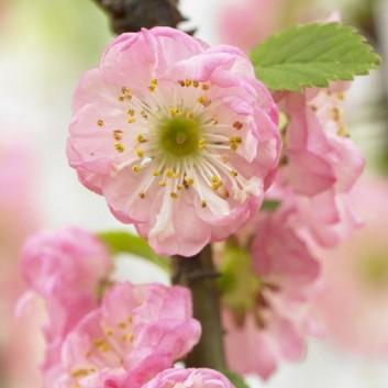 Prunus triloba - Double Flowering Cherry-Almond SHRUB