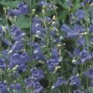 Penstemon Bluesprings