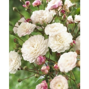 Rose Little White Pet - Shrub Rose