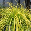 Carex oshimensis Evercolour® 'Everillo' - Evergreen Japanese Sedge