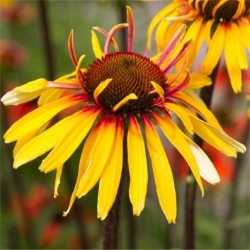 Echinacea purpurea Funky Yellow - NEW & EXCLUSIVE - Pack of THREE Plants