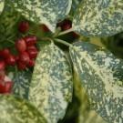 Aucuba japonica Crotonifolia - Variegated spotted Laurel