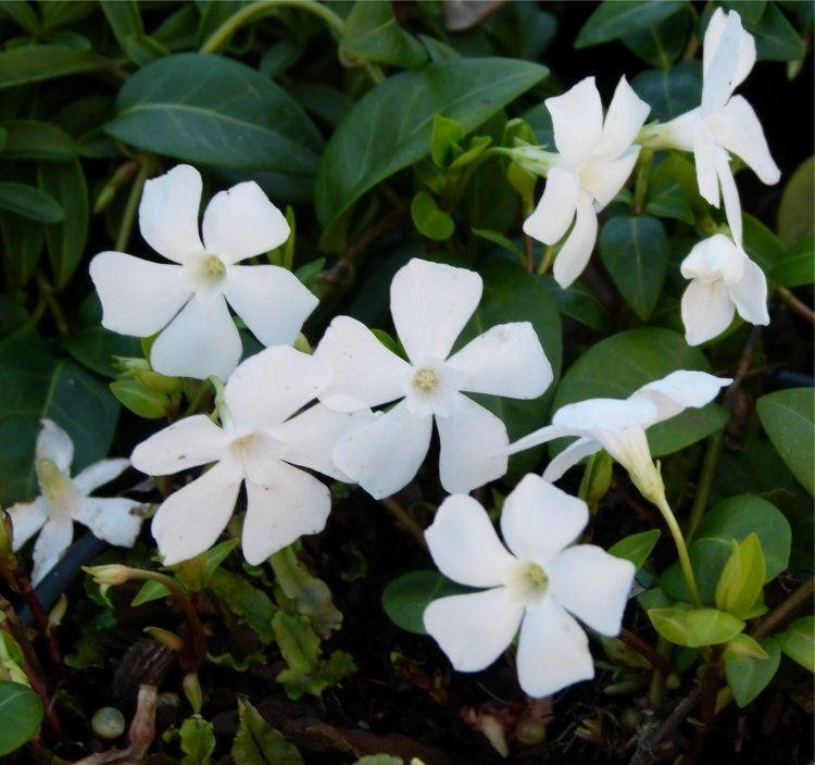 vinca minor alba white lesser periwinkle plants in bud bloom pack of three. Black Bedroom Furniture Sets. Home Design Ideas