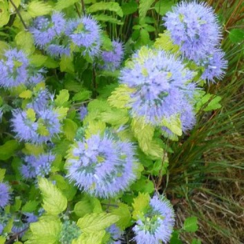 Caryopteris incana Sunshine Blue