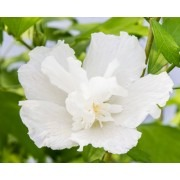 NEW & EXCLUSIVE  Hibiscus Gandini van Aart WHITE PILLAR