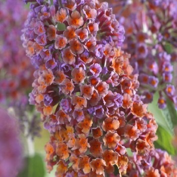 Buddleja Bicolour - Butterfly Bush Buddleia Bicolor - Rare two-tone Flower colour