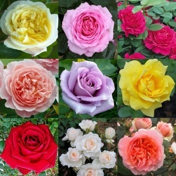 SPECIAL DEAL - Luxury Garden Roses - Premier Collection - PACK OF 10 Different Bush Roses