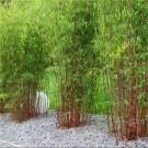 Pair of Fargesia ASIAN WONDER - Clumping Umbrella Bamboo Plants