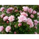 Rose Albertine - Climbing Rambling Rose