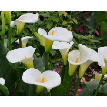 Pack of THREE Zantedeschia aethiopica - Hardy White Calla Arum Lily Plants in Bud