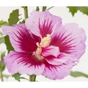NEW & EXCLUSIVE  Hibiscus Gandini Santiago PURPLE PILLAR