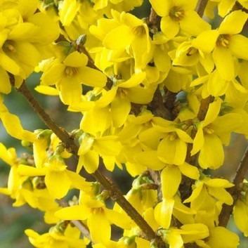 Forsythia Goldrush - Spring Flowering Plants - Pack of THREE