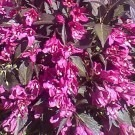Weigelia follis nana purpurea