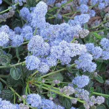 Ceanothus Yankee Point - Californian Lilac