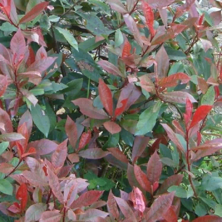 photinia 39 39 little red robin 39 39 compact evergreen shrub. Black Bedroom Furniture Sets. Home Design Ideas