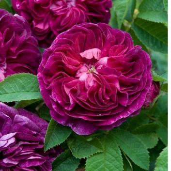 Rose Charles de Mills - Gallica Bush Rose