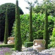 Pair of Van Gogh Tuscan Totem Pole Cypress Trees - Cupressus sempervirens 100-140cms