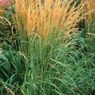 Calamagrostis acutiflora 'Karl Foerster' - Feather Reed Grass