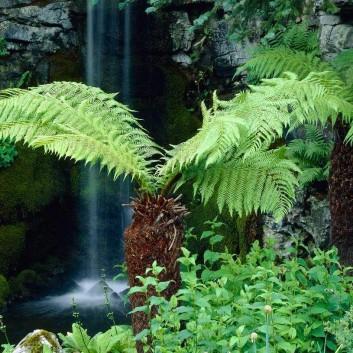 Young Dicksonia antarctica - Tree Fern