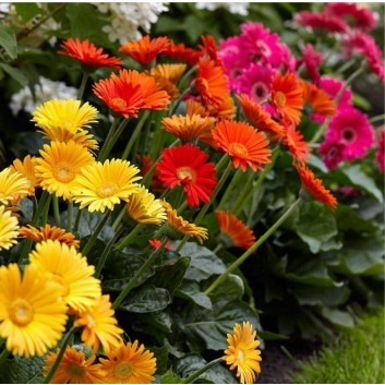 BULK PACK - Gerbera Plants - Selection of TEN Beautiful Hardy Gerberas with Giant Daisy Flowers
