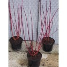 SPECIAL DEAL - Cornus alba Sibirica - Red barked dog wood - Pack of THREE