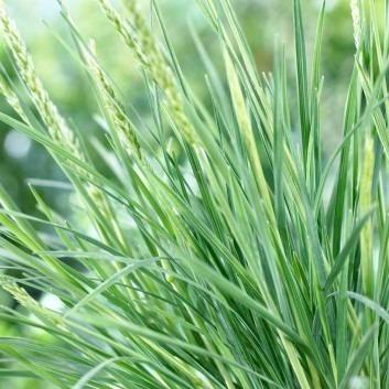Koeleria glauca - Blue Hair Grass