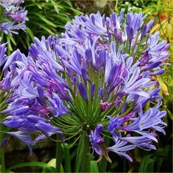 BULK PACK - Agapanthus Charlotte - Hardy Blue Nile Lily - Pack of TWELVE Plants