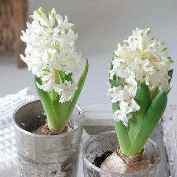 SPECIAL DEAL - White Hyacinths in Bud - Pack of THREE