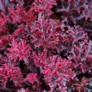 Heuchera Melting Fire - Coral Bells
