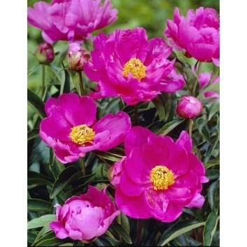 Paeonia Dancing Butterfly