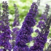 SPECIAL DEAL - Buddleja davidii Black Knight - Buddleia - Butterfly Bush