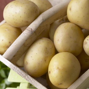 Winston - 1st Early Seed Potatoes - Pack of 10